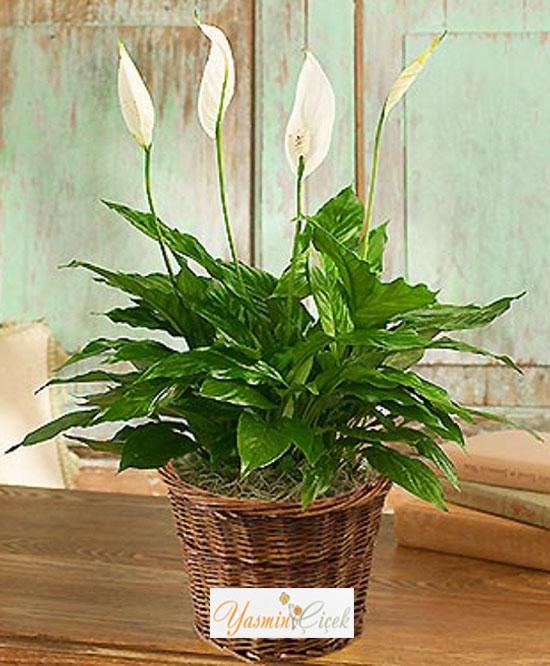 Spathiphyllum Salon Bitkisi