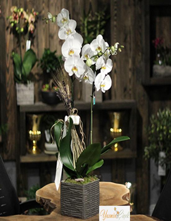 Naturel Saksıda Beyaz Çift Dallı Orkide