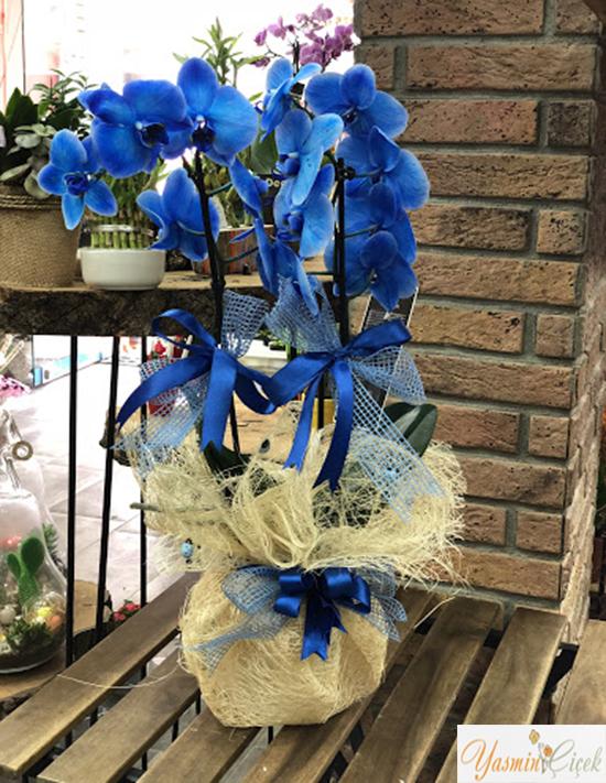 Orkide Mavi Renkli Çift Dallı