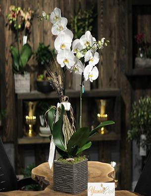 Naturel Toprak Saksıda Beyaz Çift Dallı Orkide