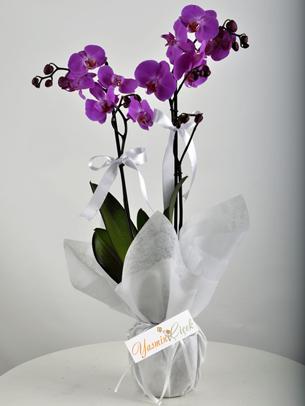 Çift Dallı Mor fuşya orkide