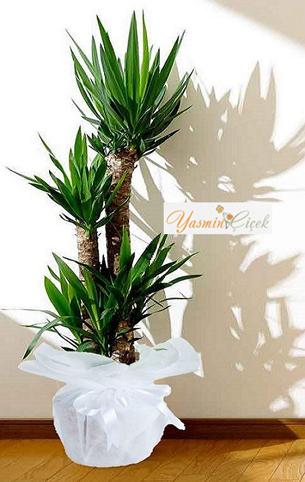 4 lü Yucca Bitkisi