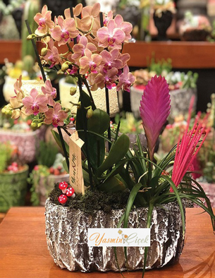 Terrarium Phanoplis Orkide Tilandisa