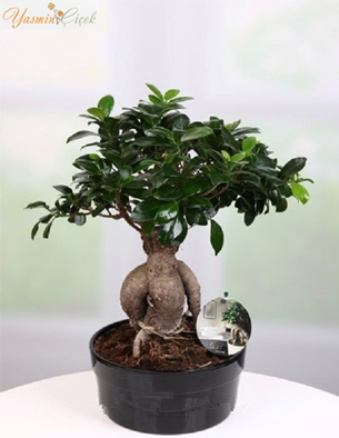 Bonsai Japon Minyatür Ağacı